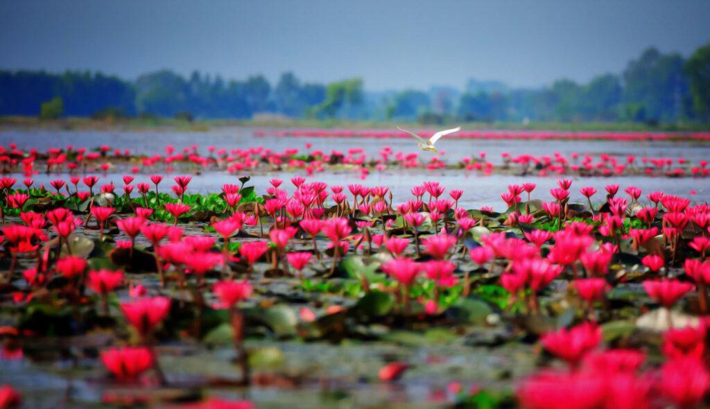 Tay Ninh Canh dong hoa sung 1