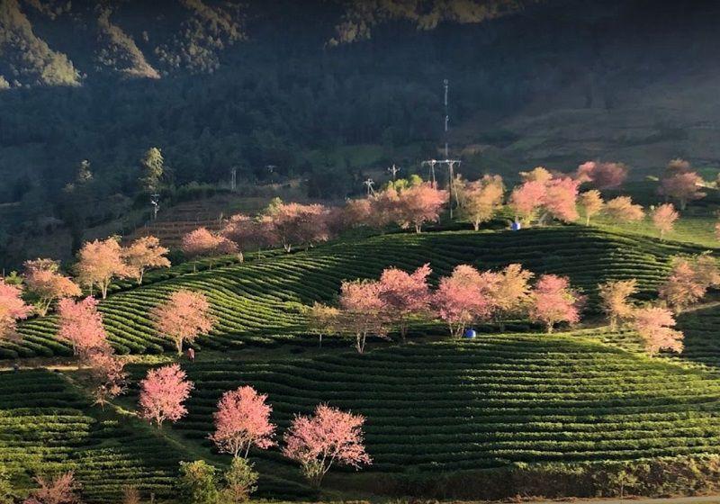 o long tea hills sapa 1