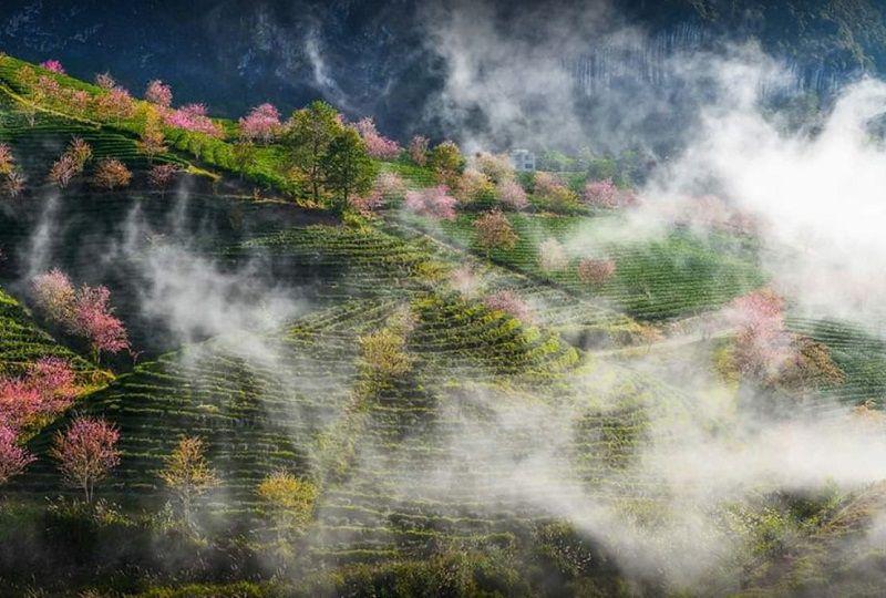 o long tea hills sapa 2